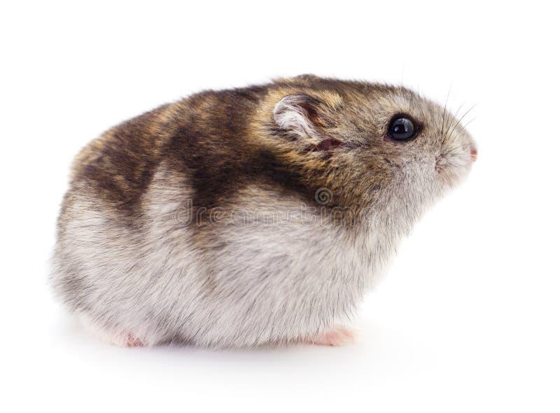 鼠标,管家,逗人喜爱,国内,宠物,仓鼠,哺乳动物,茴香,背包仓鼠图象youku图片