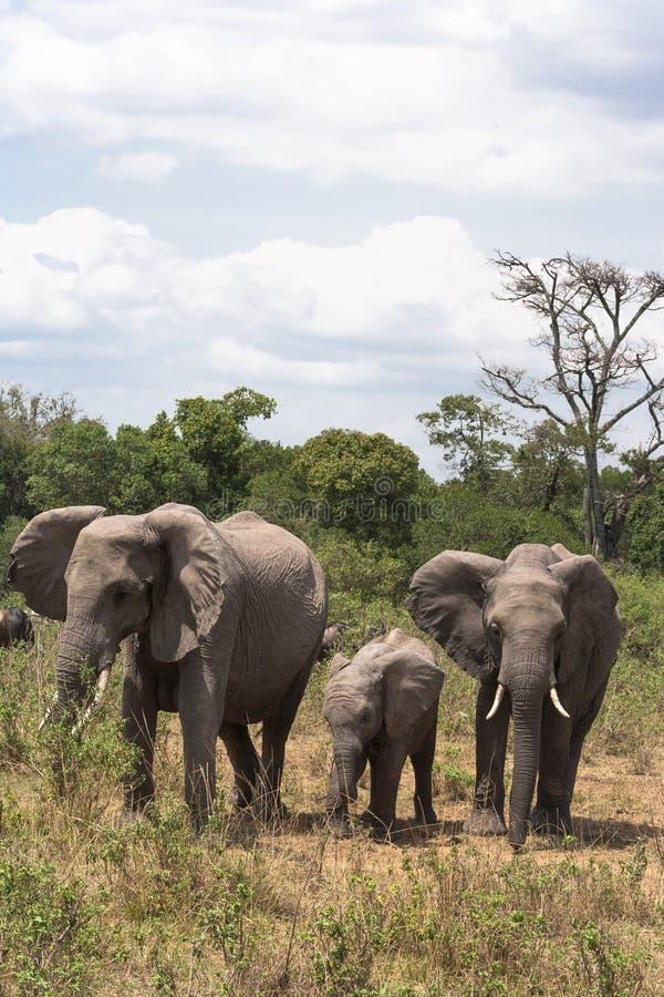 小小牛椰子大象在掌上型计算机词根附近的系列母亲 肯尼亚mara马塞语 库存照片