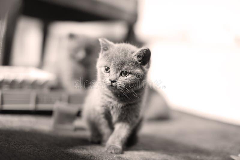 小小猫在客厅,画象 免版税库存图片