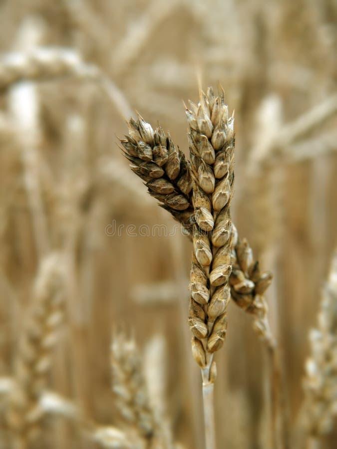 小尖峰麦子 库存照片