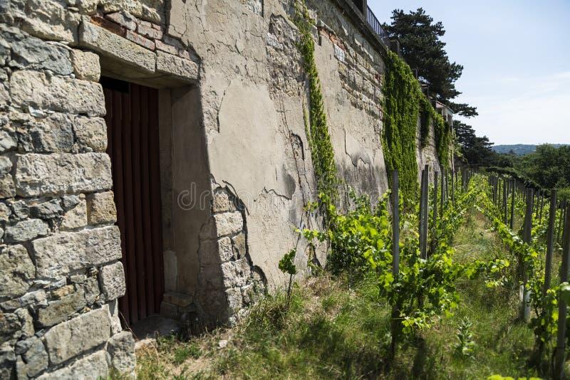 小山的葡萄园在老砖墙附近在一个夏日 免版税库存照片