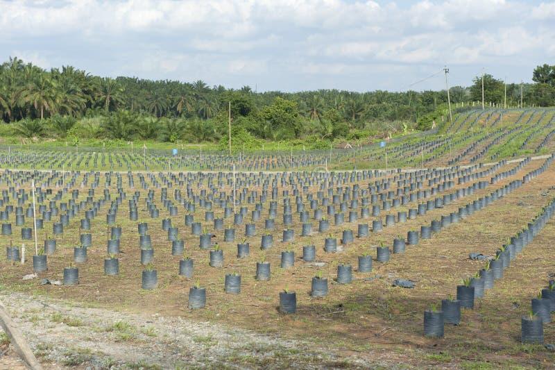 小山苗圃油棕榈树种植园 库存图片