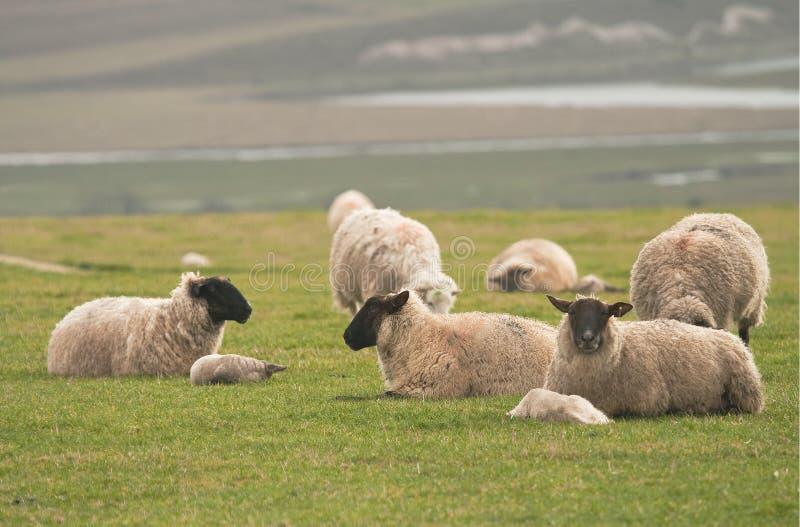 小山顶产小羊绵羊 免版税库存图片