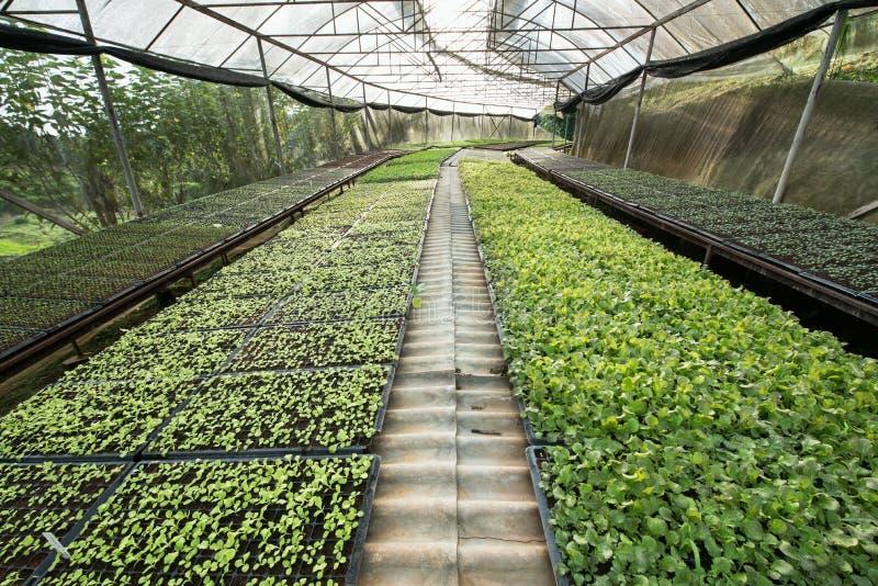 小幼木或沙拉蔬菜栽培在温室cultiva 库存照片