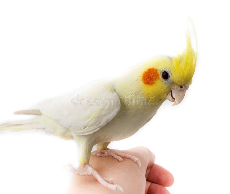 小形鹦鹉美冠鹦鹉hollandic nymphicus鹦鹉 库存图片