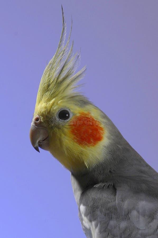 小形鹦鹉西蒙 库存照片