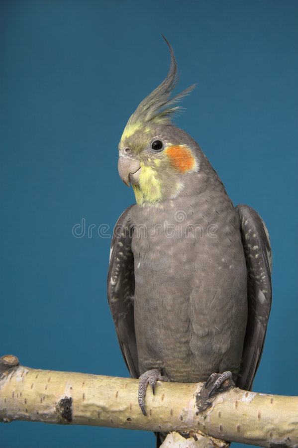 小形鹦鹉 图库摄影