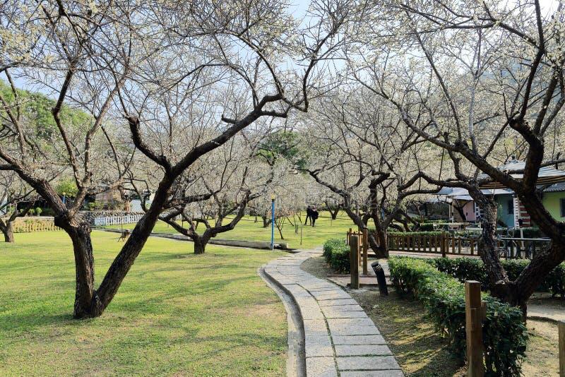 小径通过草甸蜿蜒在公园加点与开花的洋李在晴朗的天空下 免版税库存照片