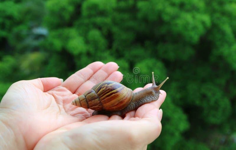 小心地带来一只小的蜗牛的女性的手回到绿色灌木 库存照片
