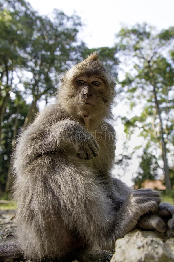小心地观察的猴子 库存照片