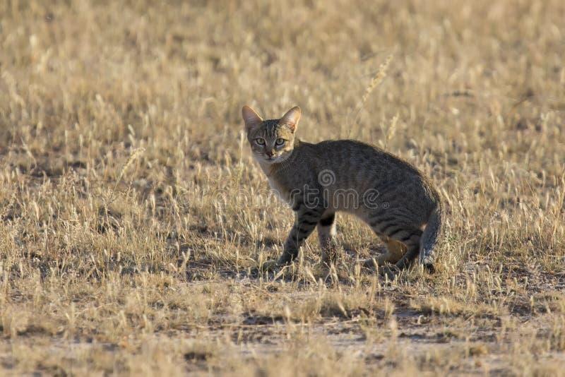 小心地走在伯爵的一个草平原的Afican野生猫 库存图片