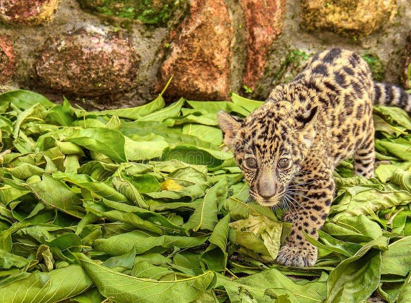 小捷豹汽车巴亚尔塔港动物园墨西哥 免版税库存照片