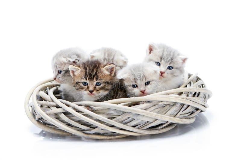 小新出生的蓬松可爱的小猫一起在被隔绝的白色柳条花圈坐在照片的白色背景 库存图片
