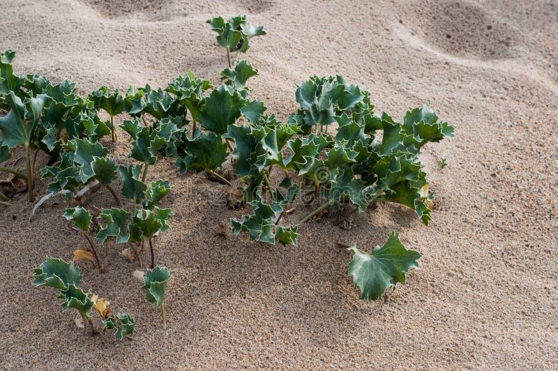 小新皮刺离开刺芹属植物 免版税库存照片
