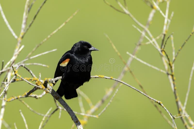 小枝红翅黑鸟 库存照片