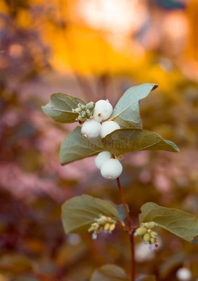小树枝用雪果果子  库存图片