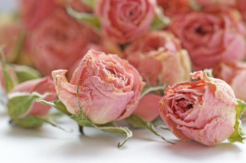 小桃红色玫瑰的干燥芽开花与绿色花萼 免版税库存图片