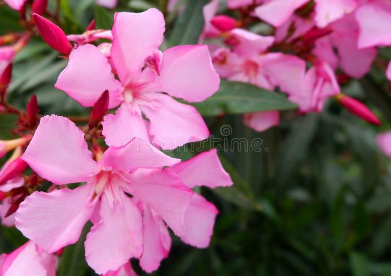 小桃红色花美丽的花束在灌木的 库存照片