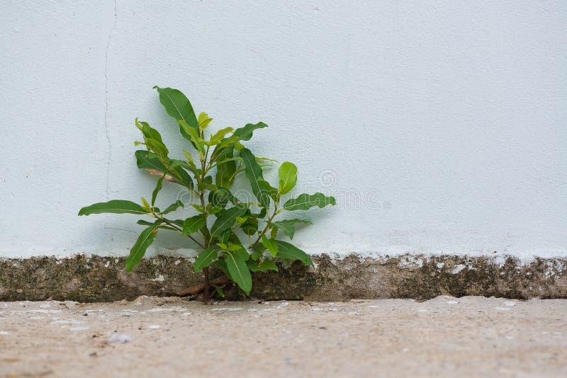 小植物发芽了长大从破裂的混凝土墙b 库存照片