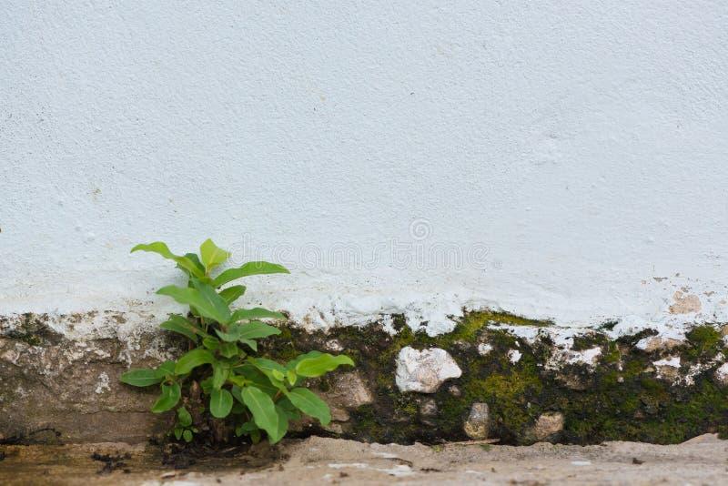 小植物发芽了长大从破裂的混凝土墙b 库存图片
