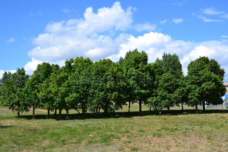 小椴树树丛在一个绿色草甸的 库存照片