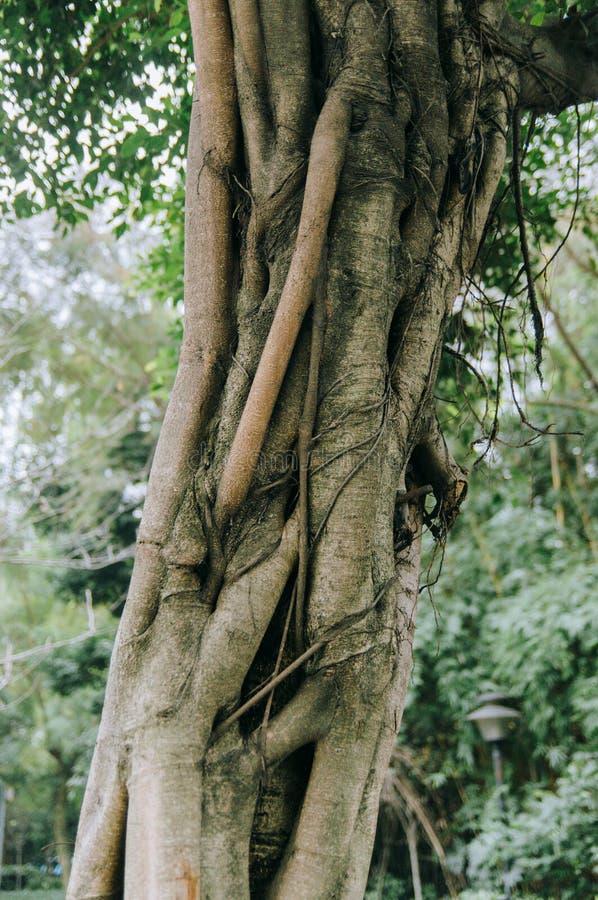小榕树树干在公园 库存图片