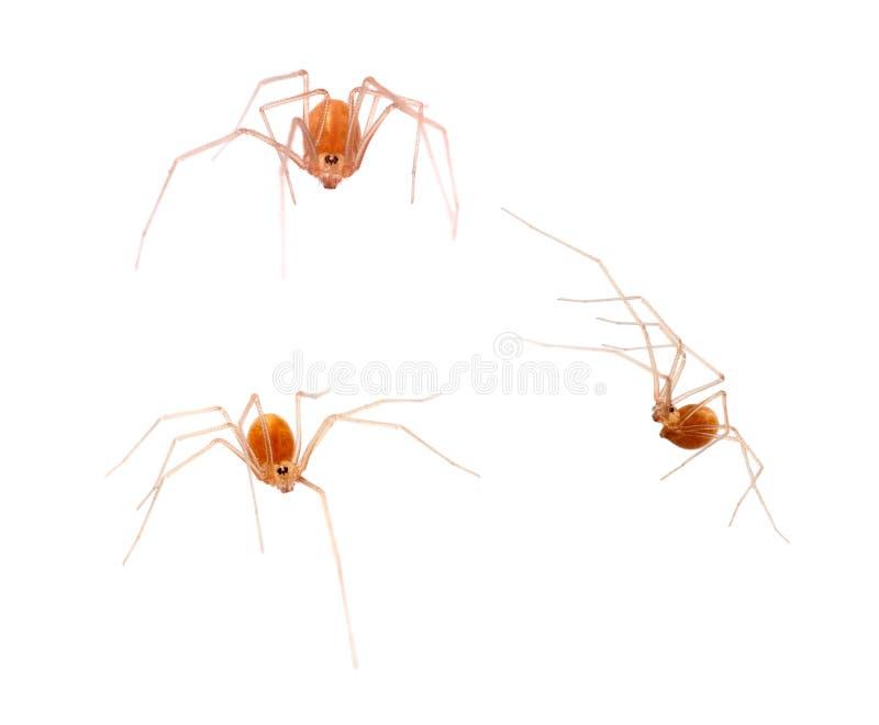 小橙色颜色蜘蛛纲的动物, Spermophora senoculata宏指令shortbodied地窖蜘蛛 Pholcidae 图库摄影