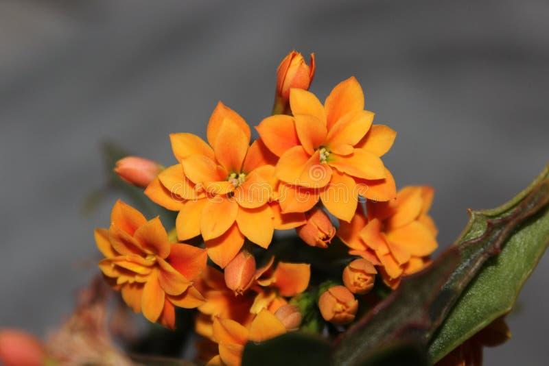小橙花 库存图片