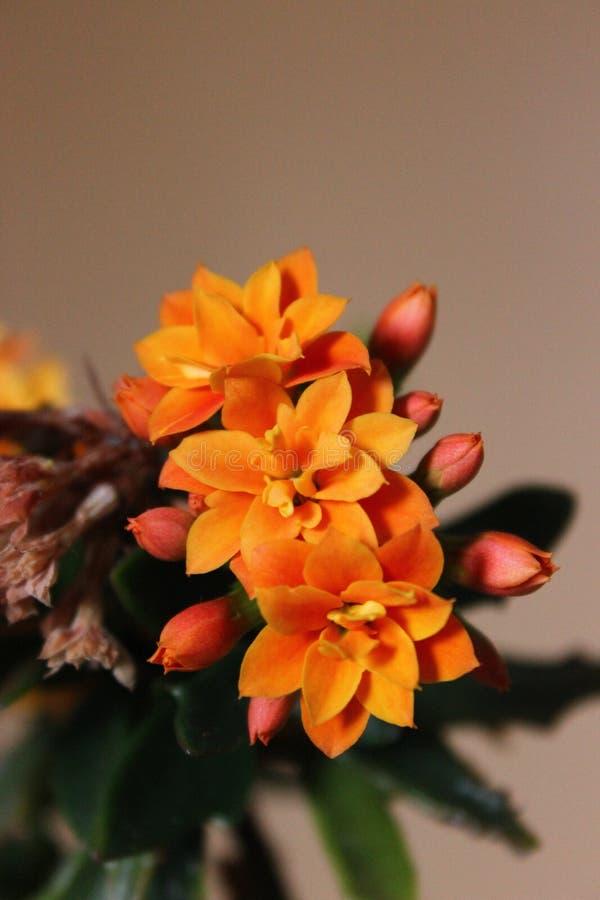 小橙花 免版税图库摄影