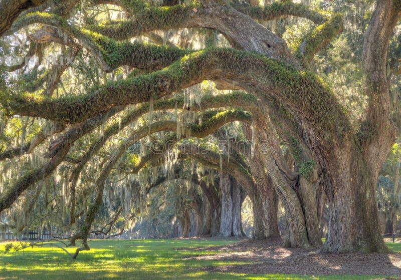 小橡树树 图库摄影