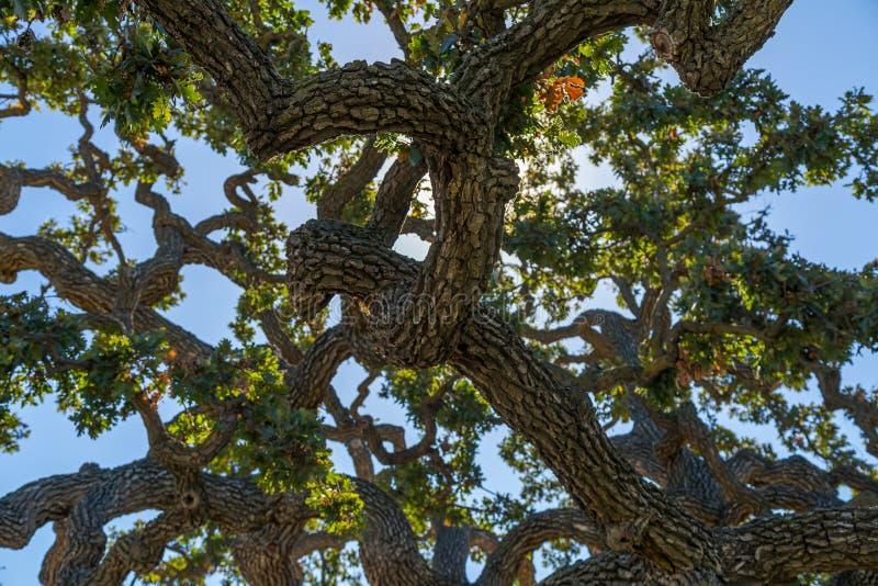 小橡树树 免版税库存图片