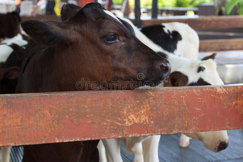 小母牛在农场 库存图片