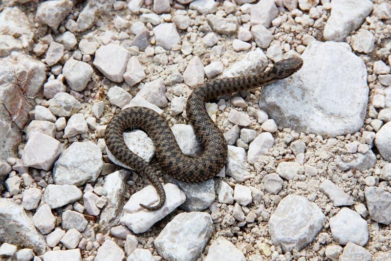 小毒蛇蛇蝎(蝰蛇属盾状区)沿一条供徒步旅行的小道 免版税库存照片