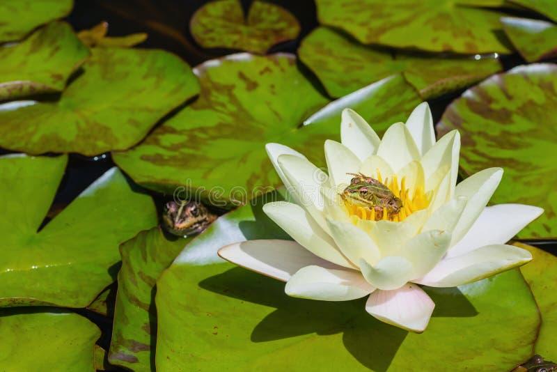 小池蛙坐荷花 库存照片