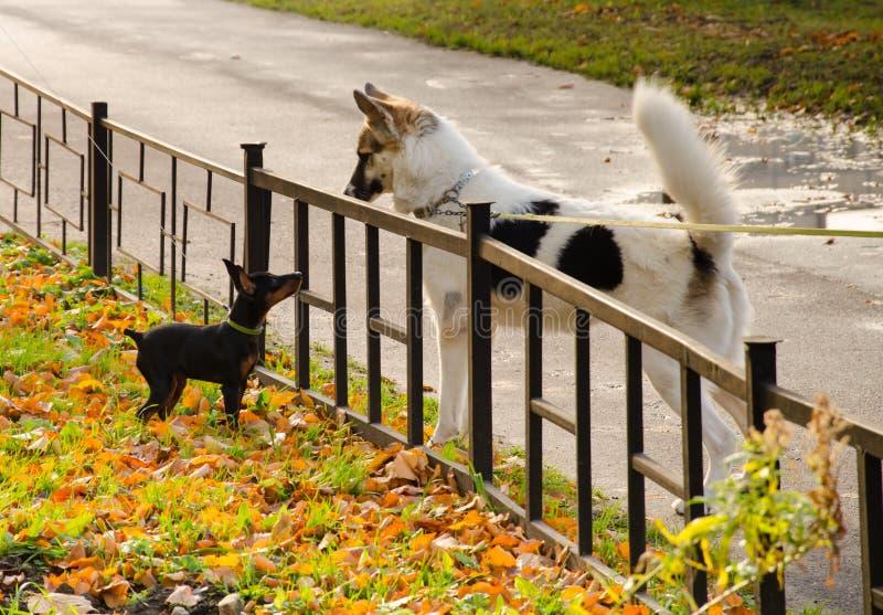 小沮丧和大白色狗看看彼此通过小篱芭 免版税库存图片