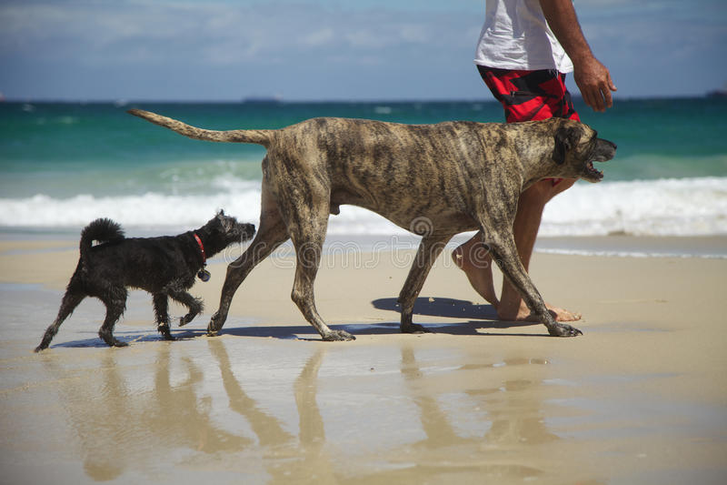 跟领袖二条的狗- 图库摄影