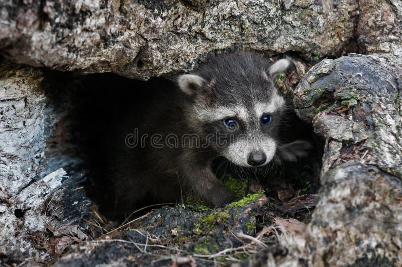 小浣熊(浣熊属lotor)爬出被击倒的树 免版税图库摄影