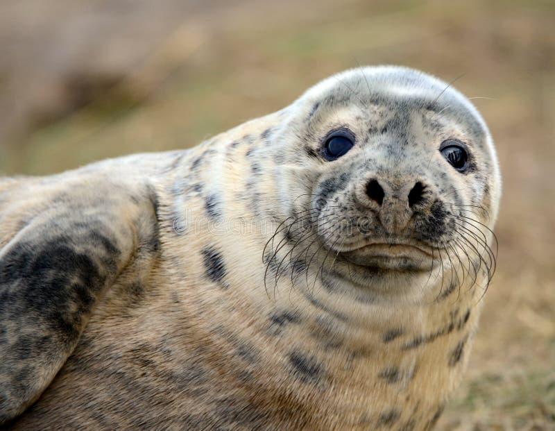 小海豹 库存照片
