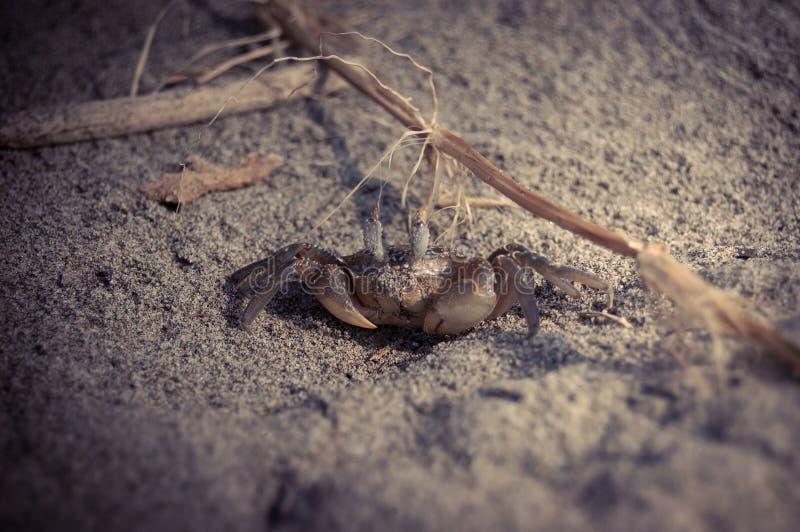 小海滩的螃蟹 图库摄影