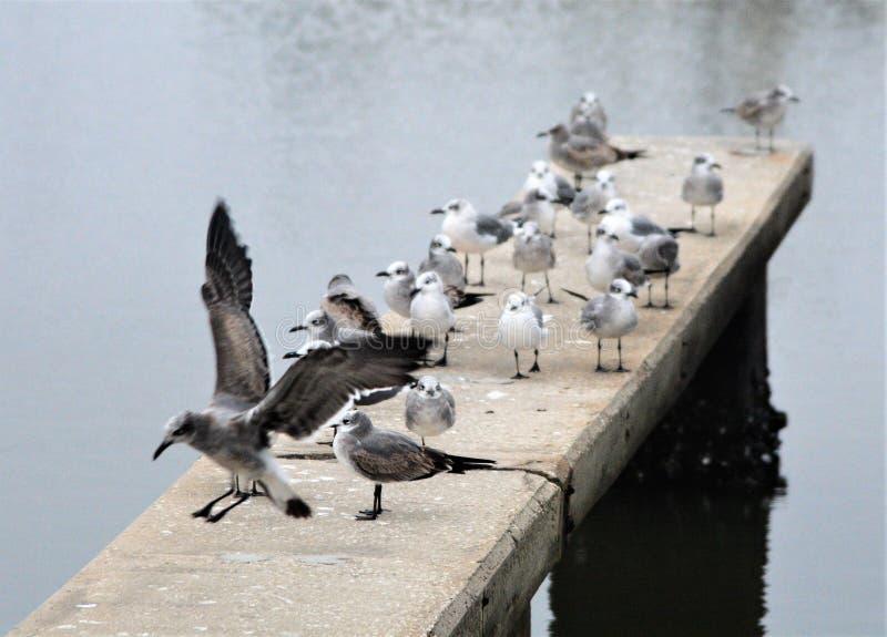 小游艇船坞海鸥断断续续飞行寻找食物的船坞 图库摄影