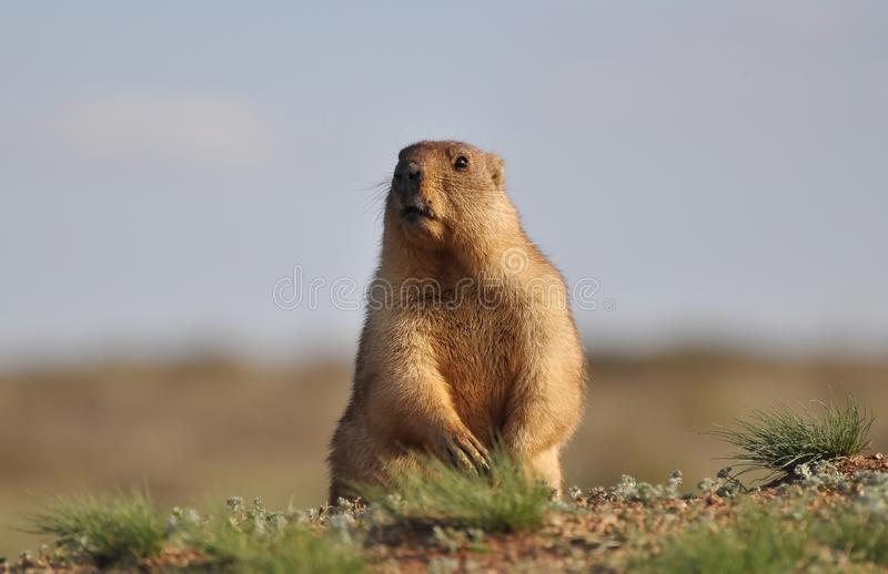 小滑稽的groundhog 库存图片