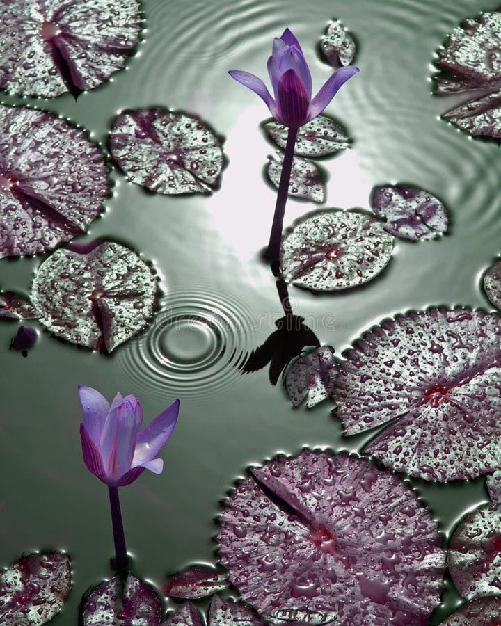 小滴百合紫色热带水 库存照片