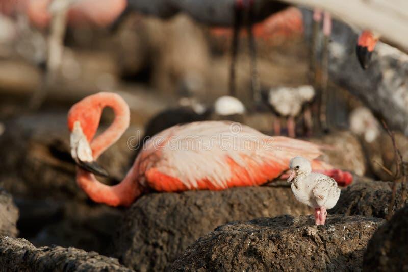 小火鸟巨大phoenicopterus ruber 免版税图库摄影