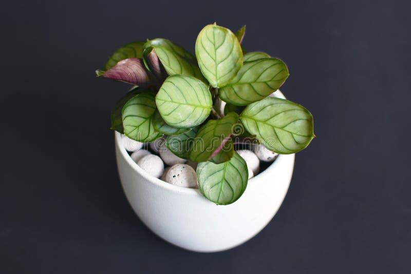 小热带'白花罐的Ctenanthe Burle Marxii Amagris的植物有在黑背景的白色膨胀的黏土药丸的 免版税库存照片
