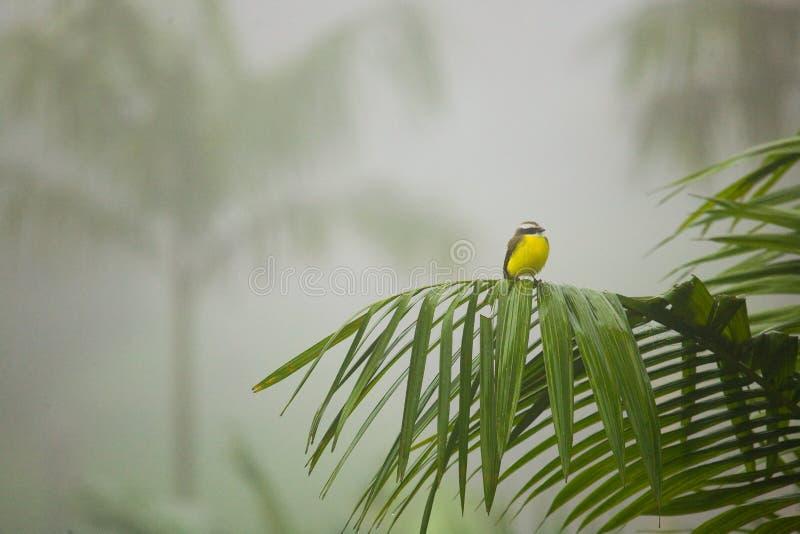 小热带鸟在哥斯达黎加的雨林里 库存图片