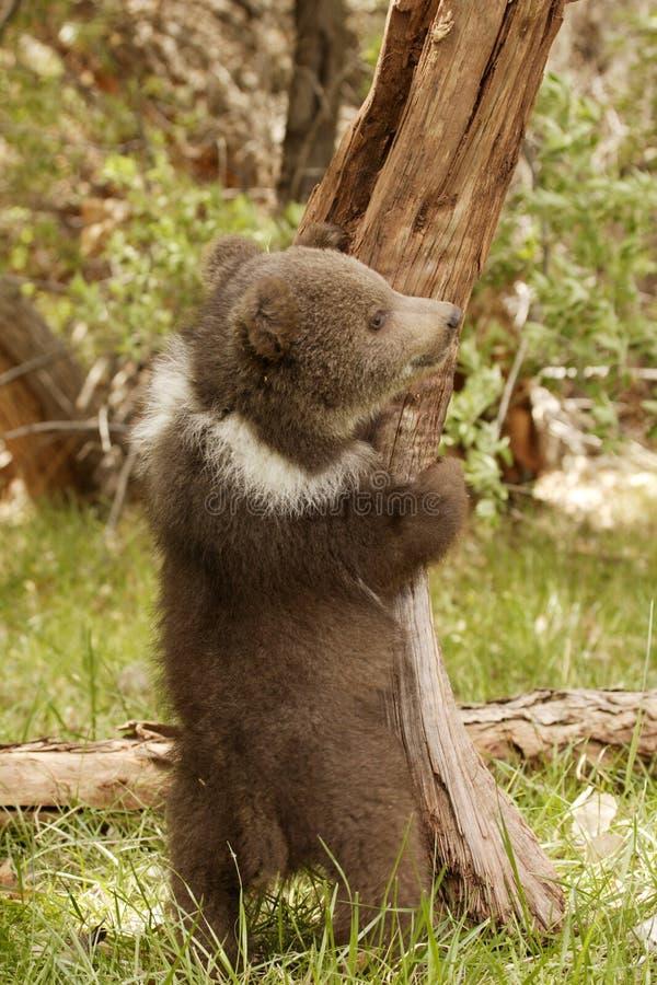 小熊北美灰熊 库存照片