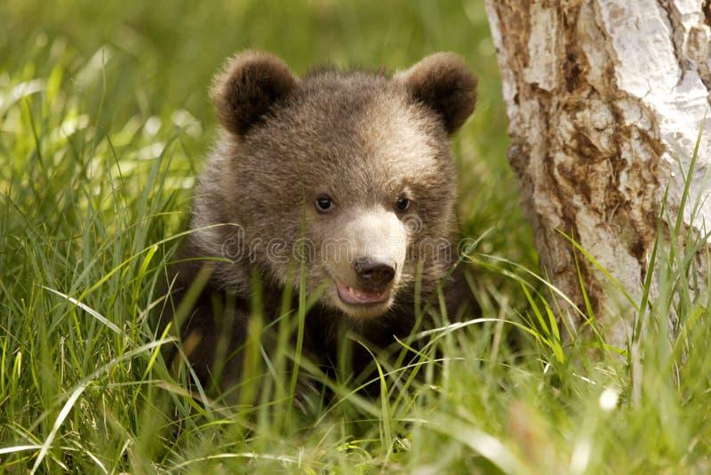 小熊北美灰熊 免版税库存图片