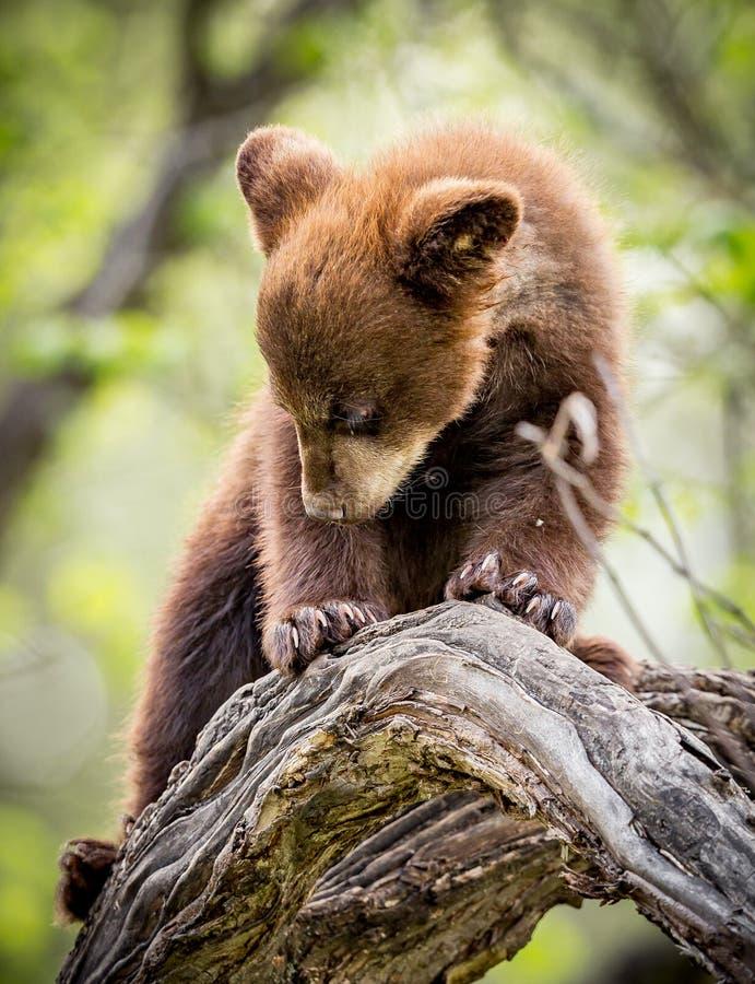 小熊奋斗下来从高树枝 免版税库存照片