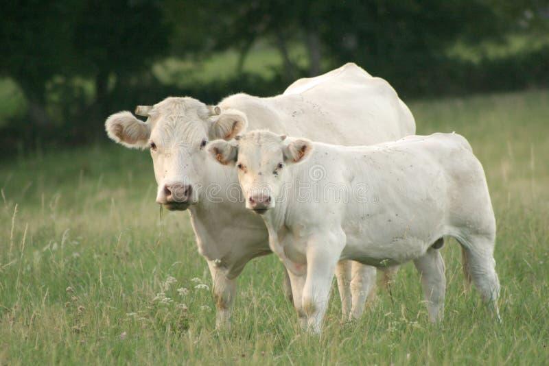 小牛他的母亲 免版税库存照片