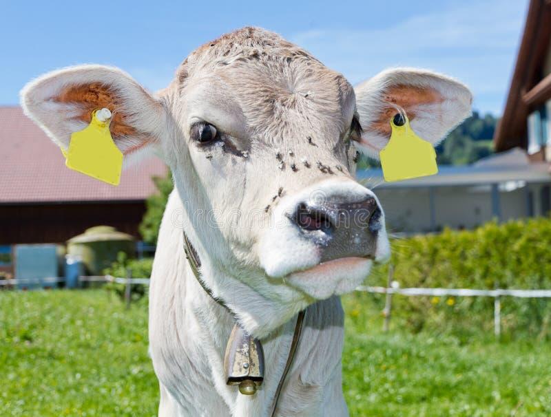 小牛农厂年轻人 库存图片